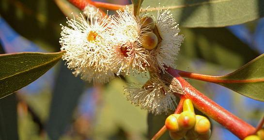 Eukaliptus dives olakšava iskašljavanje i koristi se u njezi masne kože