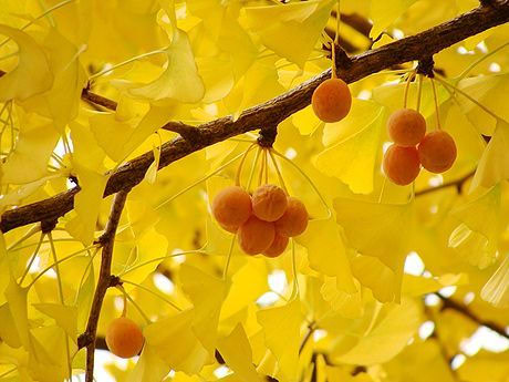 Ginkgo biloba - ljekovito bilje