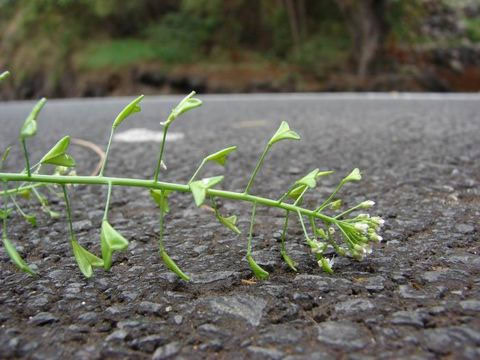 Rusomača - ljekovito bilje