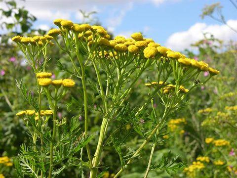 Tanacetum vulgare - ljekovito bilje
