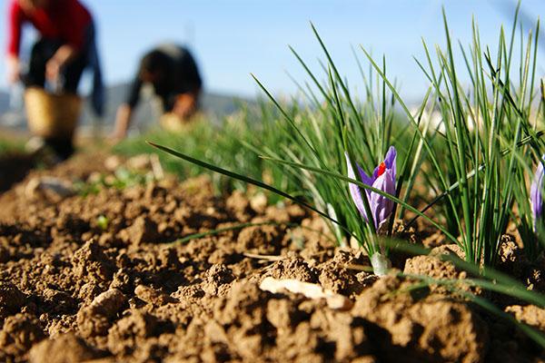 Koje biljke u povrtnjaku možete saditi zajedno?
