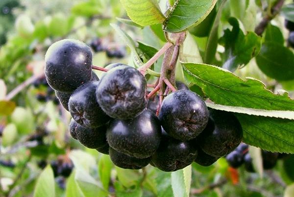 Aronija – super bobica, super antioksidans