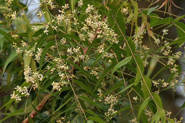 Ulje nima (neema) - prirodni insekticid koji štiti vaš vrt
