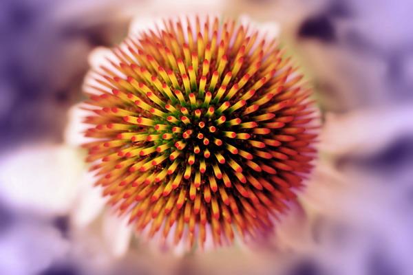 Echinacea – imunomodulator br. 1 u svijetu