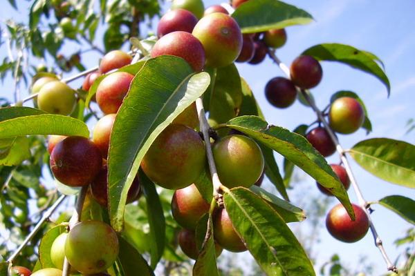 Camu camu - najbogatiji prirodni izvor C vitamina