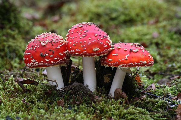 ABC gljivarenja: 7 najopasnijih gljiva