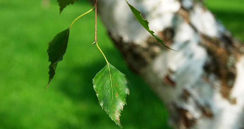 Brezin nektar – dar prirode