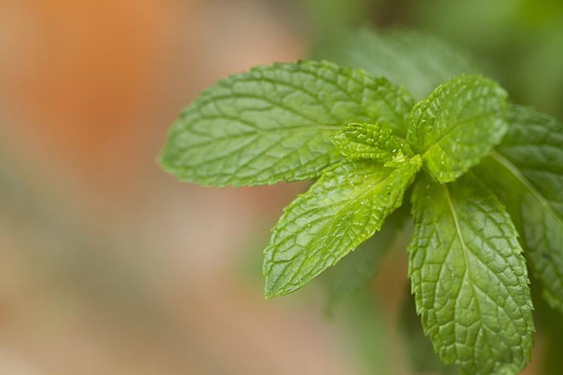 Metvica – poznajemo li bilje zaista?