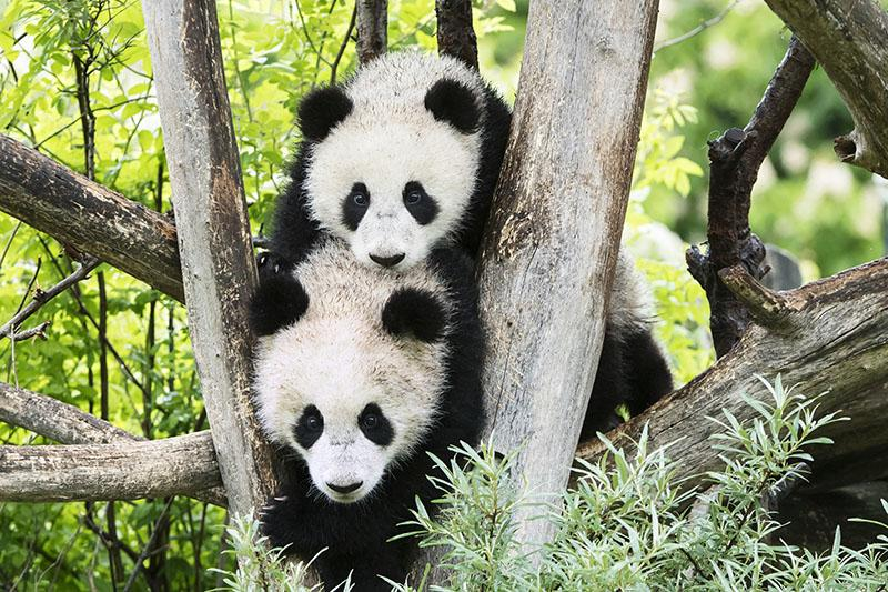 Bečki zoološki vrt: Najstariji zoološki vrt na svijetu dom je najslađim pandama koje ćete vidjeti