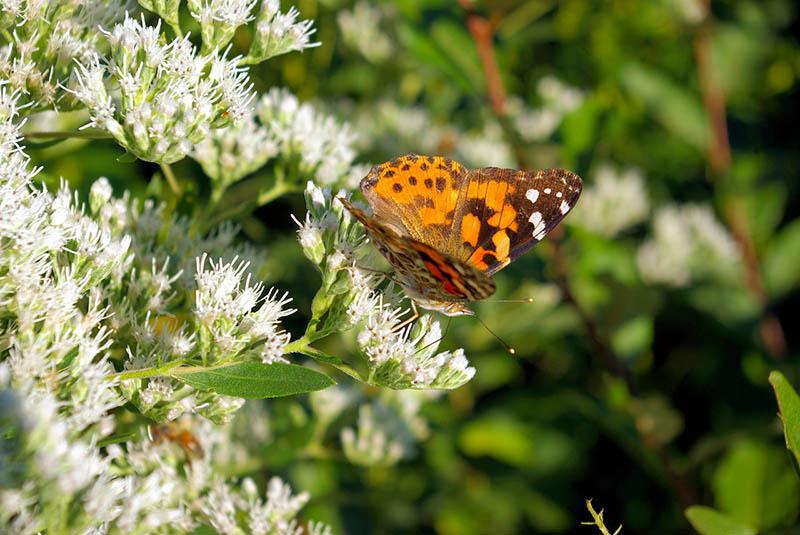 Kalifornija uživa u spektakularnim prizorima migracije leptira
