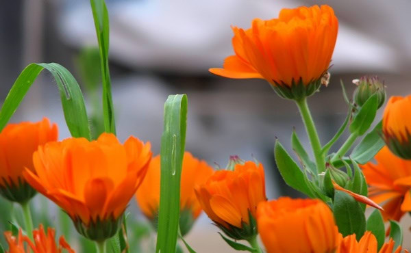 Macerat nevena – nevenovo ulje