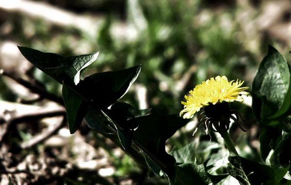 Maslačak u ritmu- detoksikacija korijenom