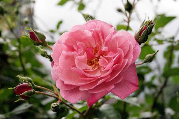 Eterično ulje ruže za njegu kože lica