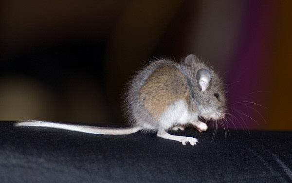Mišja groznica na Sljemenu – treba li paničariti?