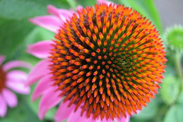 Ehinaceja - sve koristi ove čudotovorne biljke