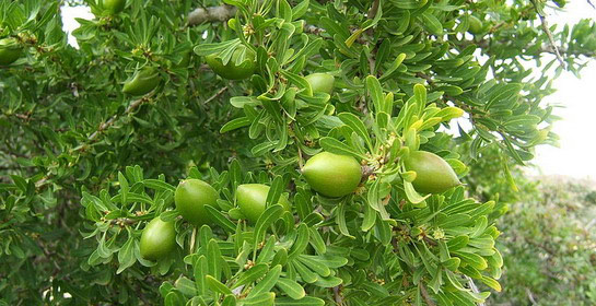 Argan - berbersko drvo života