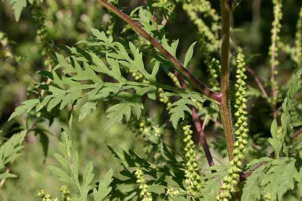 Ambrozija u cvatu stvara nevolje alergičarima
