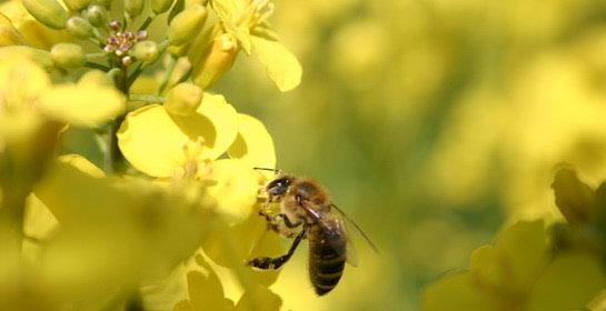 Homeopatska pčelica za kućnu ljekarnu