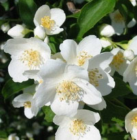 Aromaterapija u mom životu- komentira jasmina
